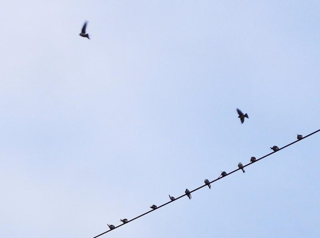 Schwalben gegen Himmel